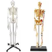 modello sceletro umano